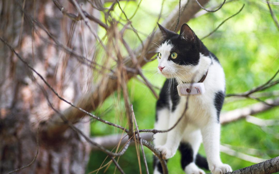 Collier GPS : les chats n'échappent pas au monde connecté